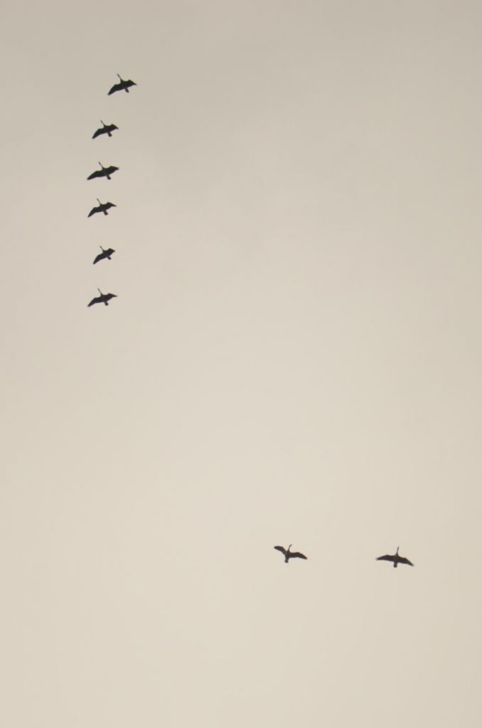 geese-migrating