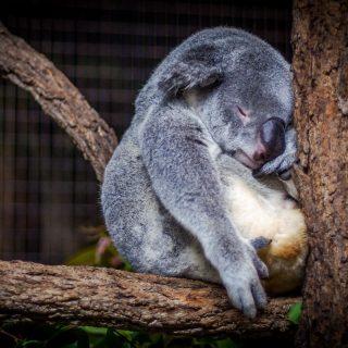 sleeping-koala-in-tree