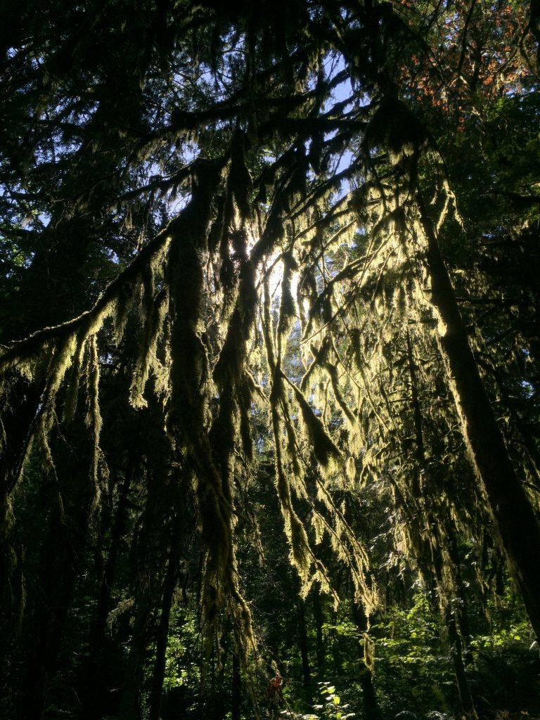 Sun shining through moss in tree