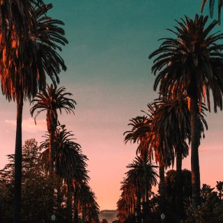 Palm trees in Hollywood