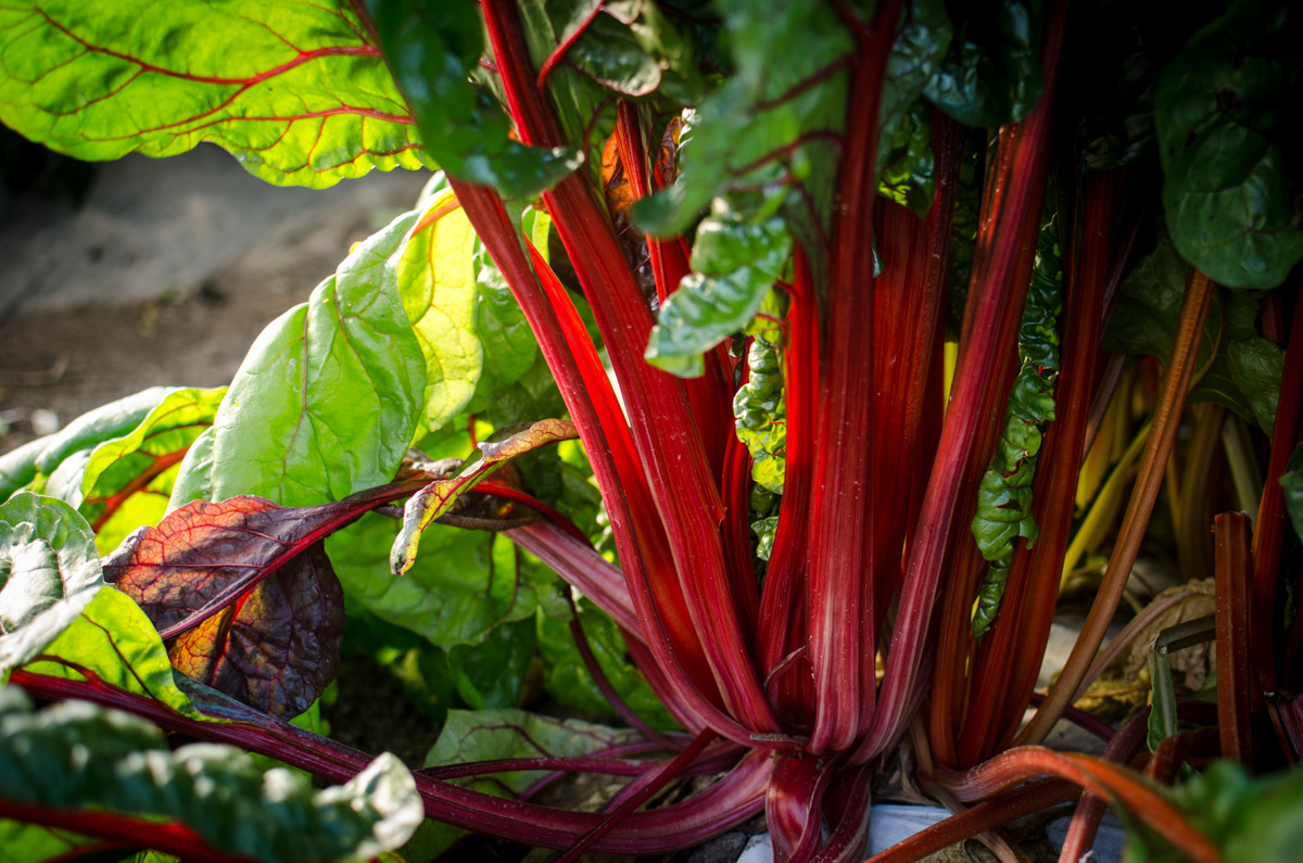 Red stalks of chard before harvest