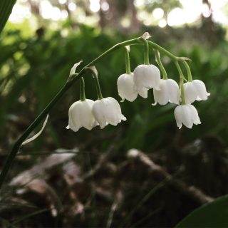 lily_of_valley_forest