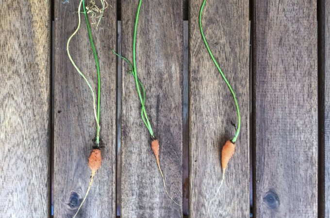 scrawny carrots picked by a toddler