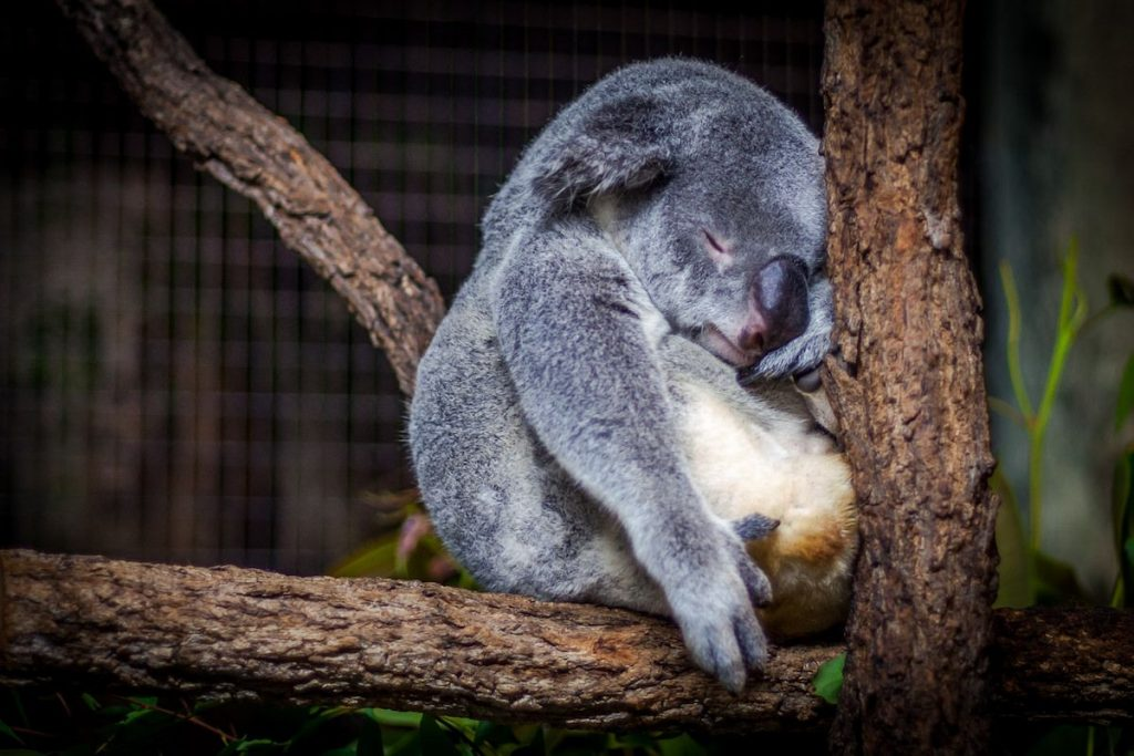 sleeping-koala-in-tree