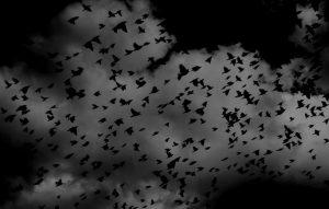 Birds flocking in dark sky