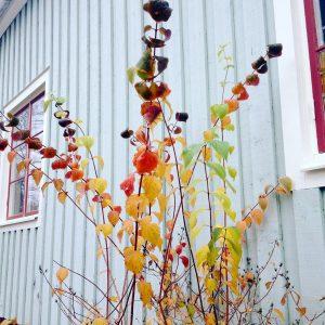 Fall foliage against house