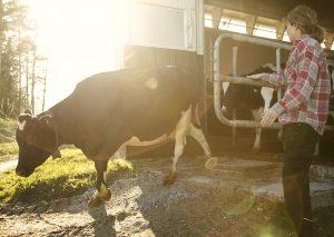 Farmer releasing cow from barn