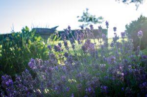 Lavender in Devon, England