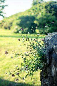 Flowers in the wall in Devon