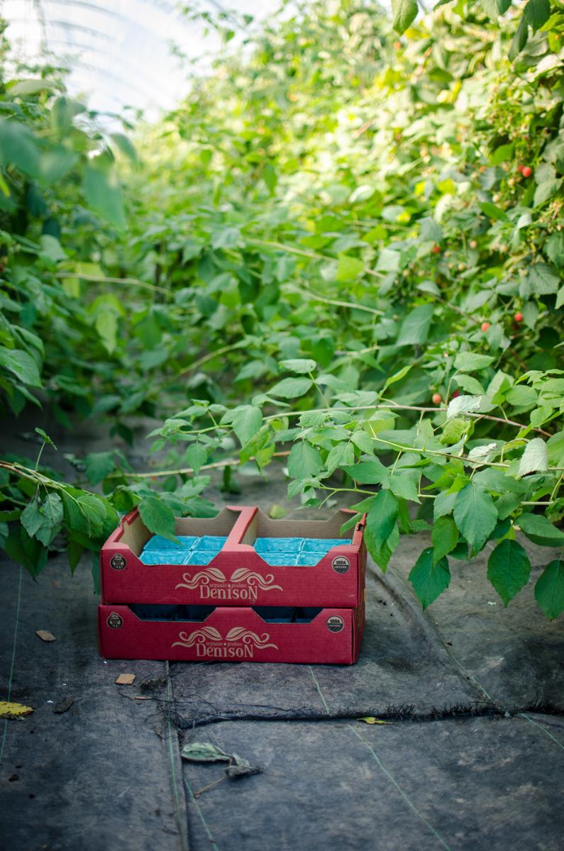 Raspberry bushes at Denison Farms