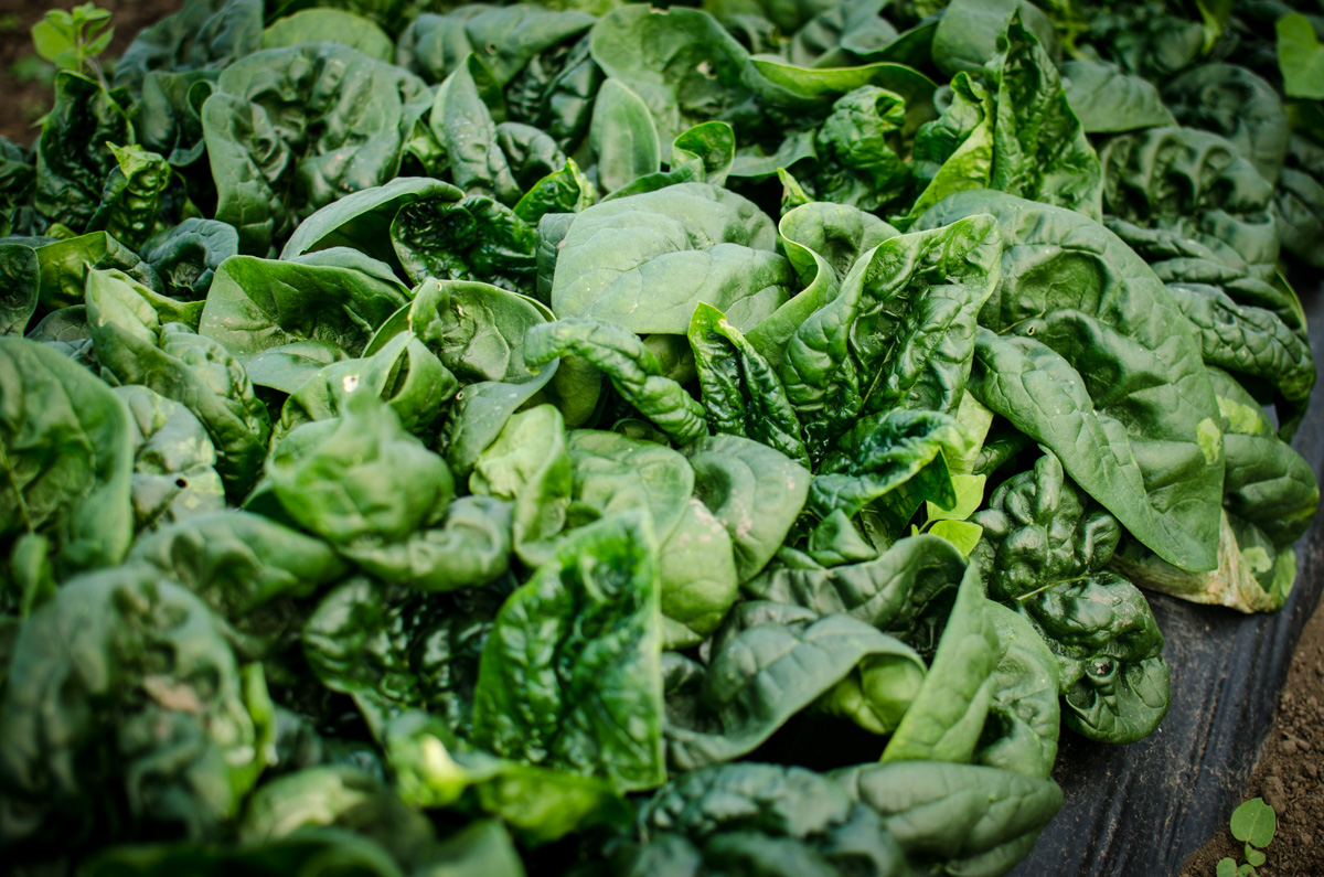 A bed of spinach at Denison Farms