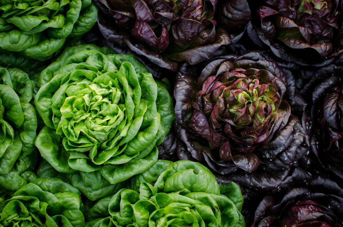 Red and green butter lettuce heads