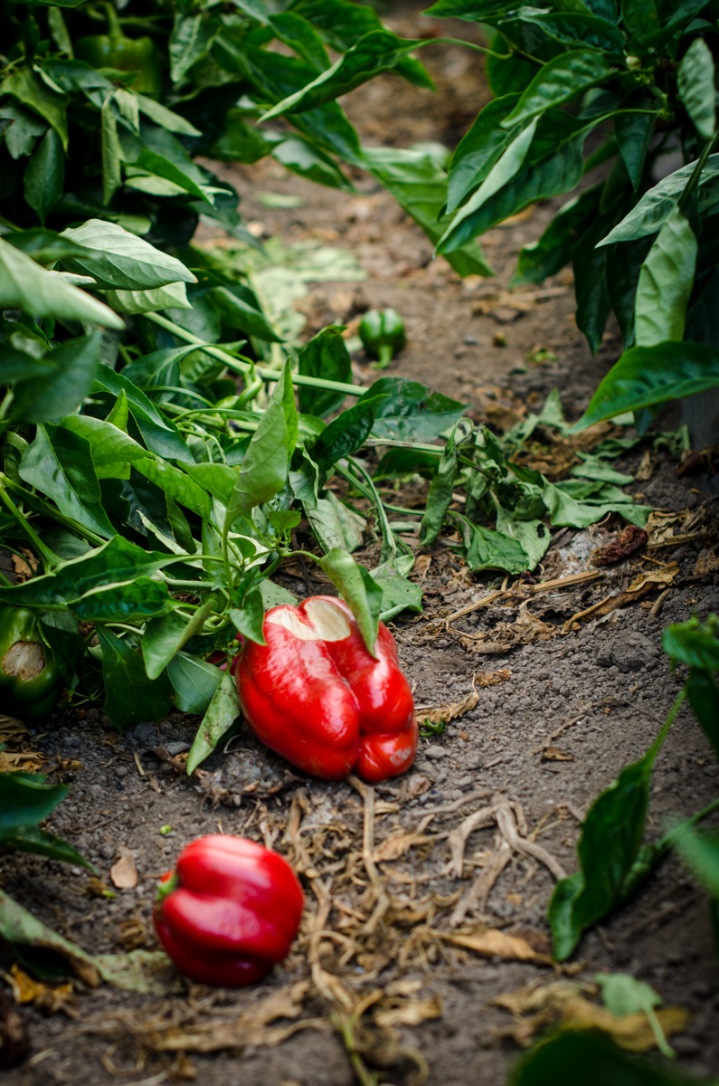 Unharvested red peppers at Denison Farms