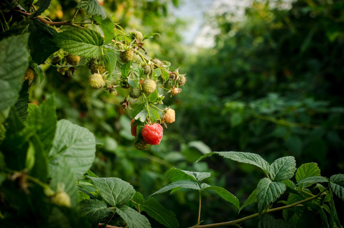 Raspberry bush at Denison Farms