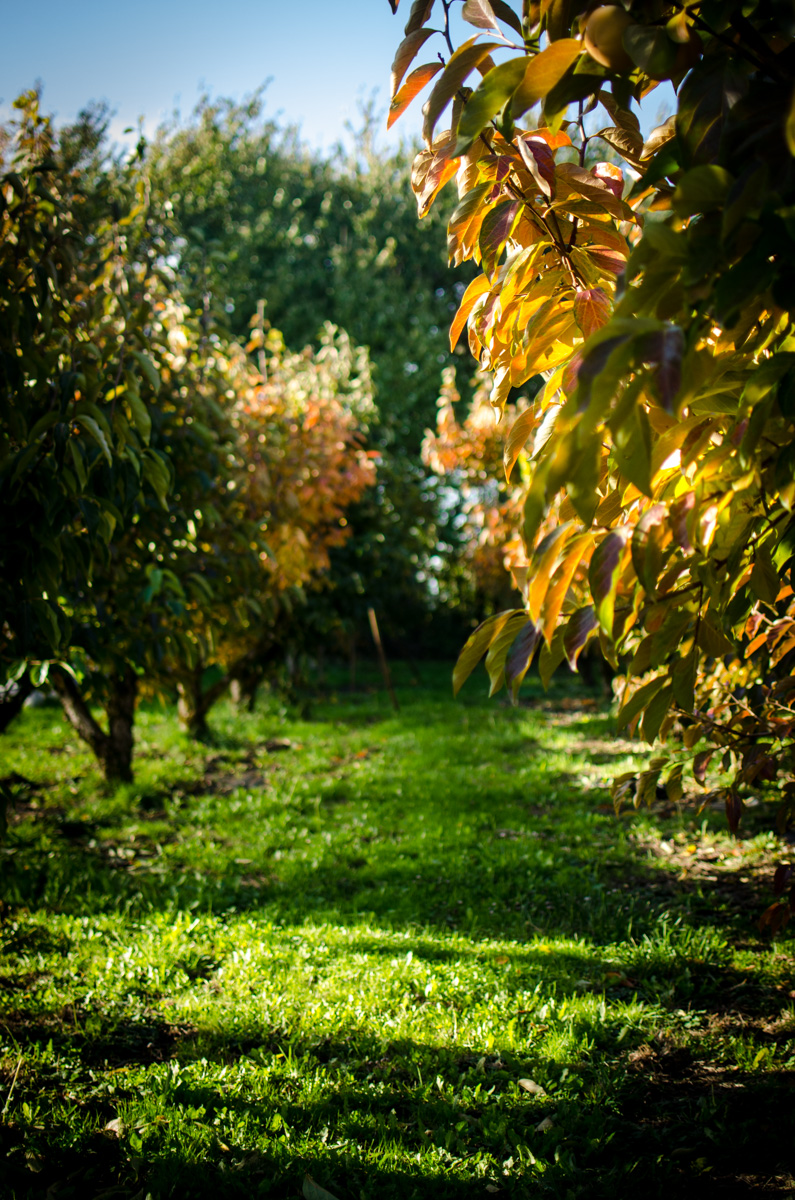 Persimmon orchard at Denisom Farms
