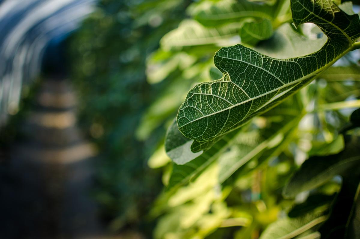 Back of a fig leaf